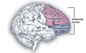 Drawing of the human brain with the prefrontal cortex highlighted (the seat of the executive functions)
