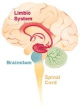 Brain_limbicsystemWiki200x263