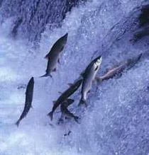 salmon_upstream