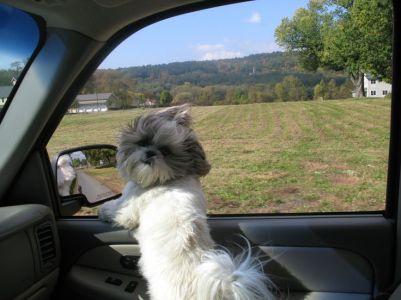ShihTzu in car